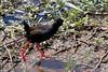 Black Crake (Amaurornis flavirostra) by Ardeola