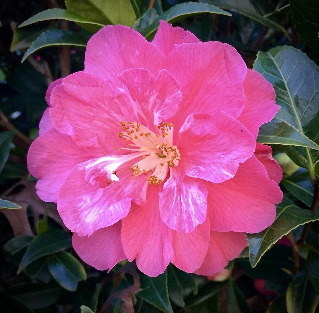 Camellia, Gamble Garden