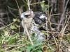 African Cuckoo-Hawk by Mandara Birder