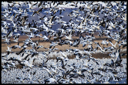 Snow Geese at Loess Bluffs National Wildlife Refuge - No 7