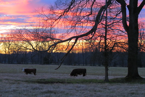 cattle greensboro sunrise sunset northcarolina canon sky outdoors winter nature farm