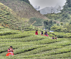Tea Fields Fairy Tale