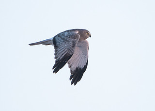 Northern Harrier_Gray Ghost