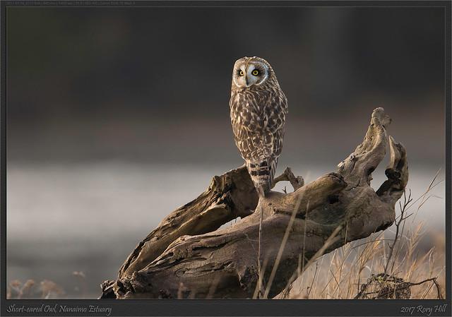 Short-eared Owl, Nanaimo Estuary