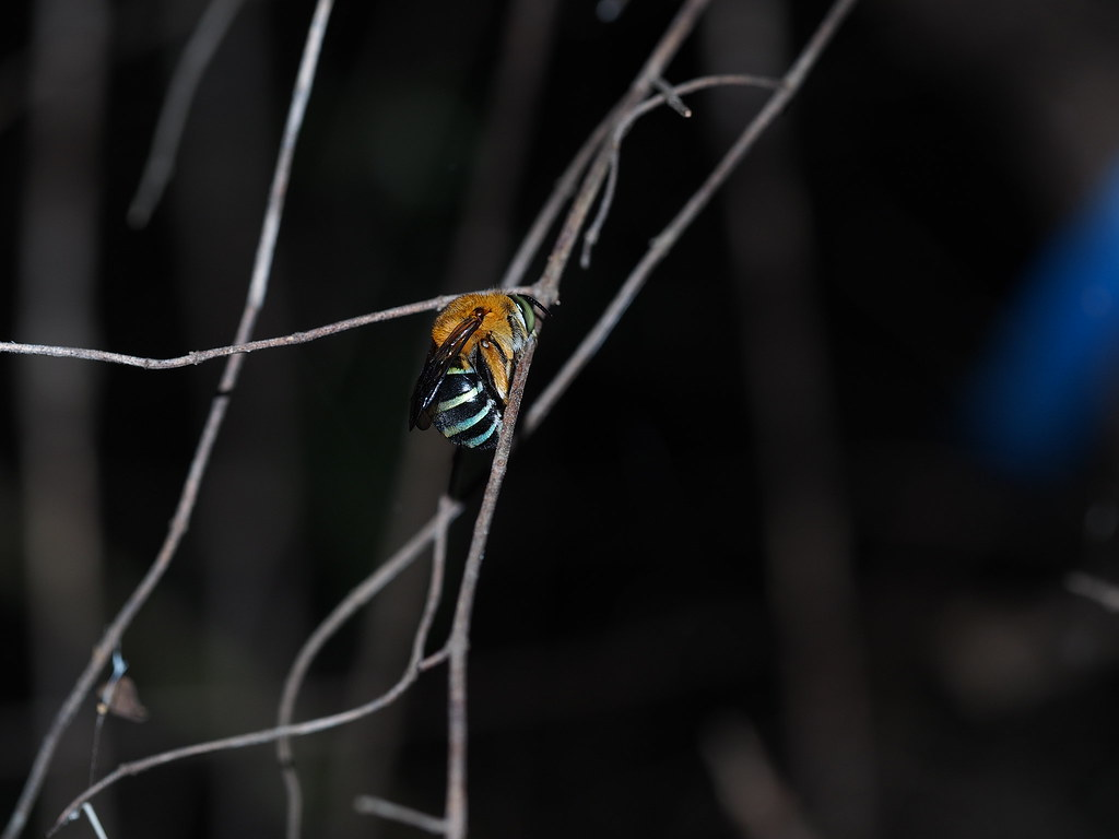 Female Blue Banded Bee Roosting
