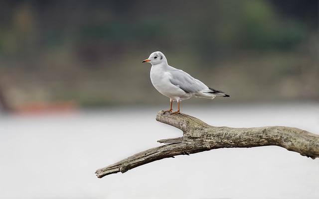 a seagull on a branch - une mouette sur une branche