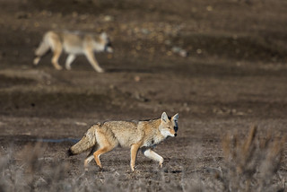 1811_0500 Coyotes Hunting | by wild prairie man