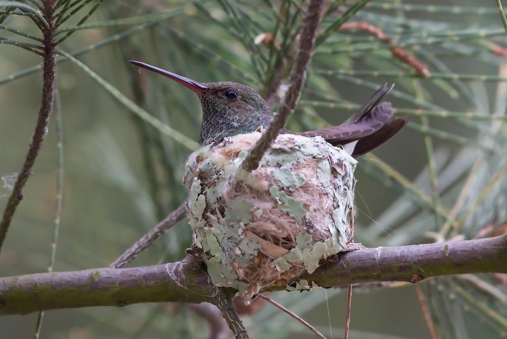 Glittering-throated Emerald (Amazilia fimbriata) on the nest.