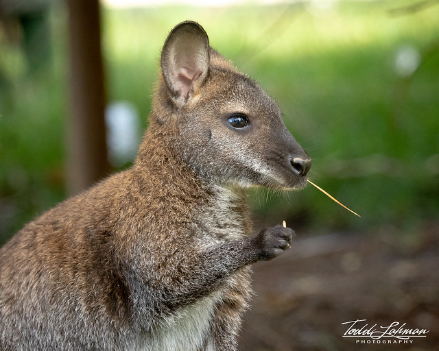 Young Red-necked Wallaby