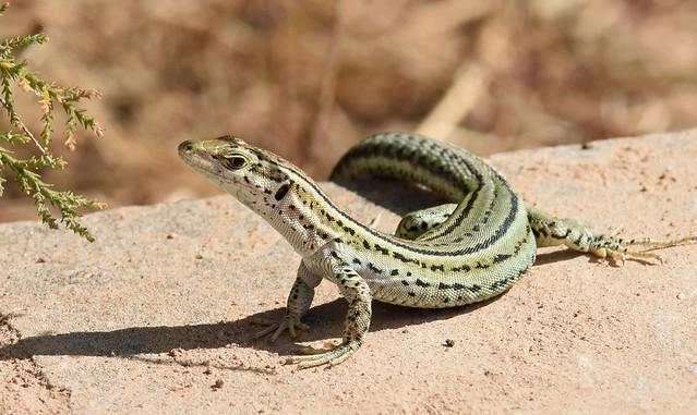 Catalonian Wall Lizard (Podarcis liolepis)