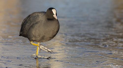bird wimboon ice winter reflectie nederland netherlands natuur alblasserwaard alblasserdam holland canoneos5dmarkiii canon300mmf4lis14ex winterlicht winterlandschap