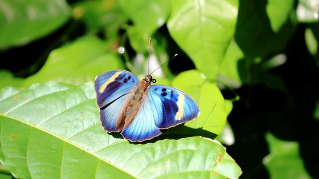 Widespread Forester - Euphaedra medonr