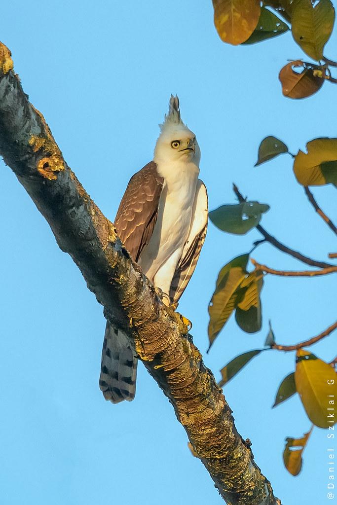 Águila Crestuda Real. Ornate hawk-eagle. Spizaetus ornatus