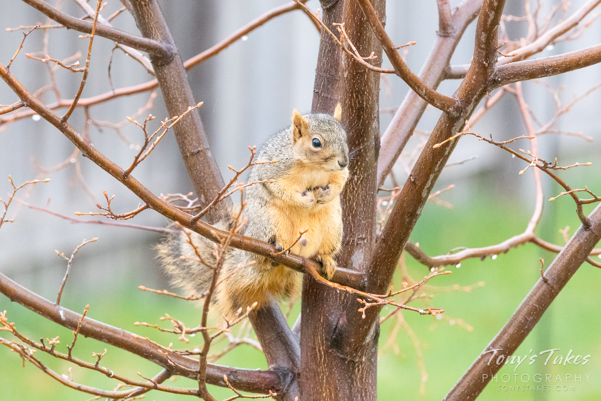 A squirrel hangs out in suburbia hoping to catch a treat falling from a bird feeder. (© Tony's Takes)