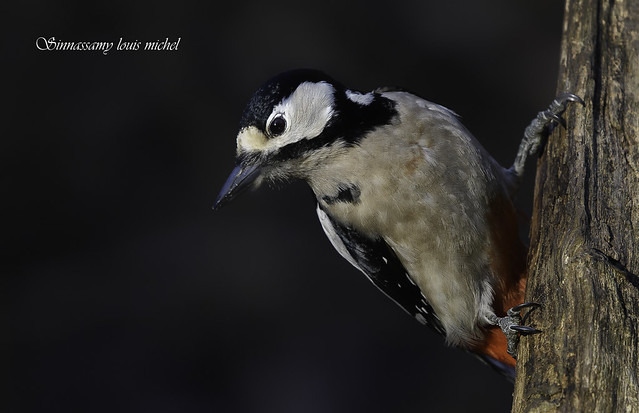 ♀ Black-spotted woodpecker / ♀ Pic épeiche