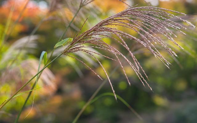 Autumn grasses with grasshopper