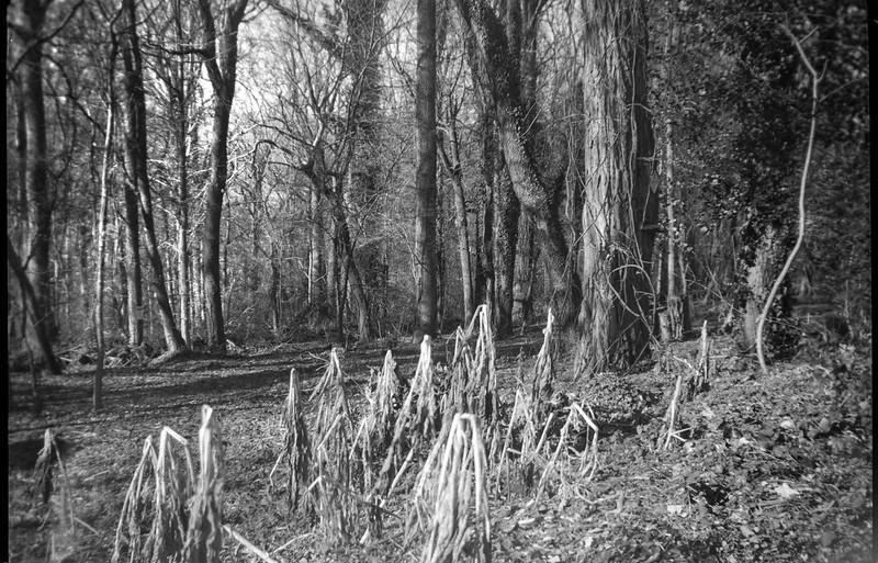 LTR cut and dried vegetation, forest's edge, Asheville, North Carolina, Kodak Brownie No. 2 Model F (green), Arista.Edu 200, Ilford Ilfosol 3 developer, 12.17.18