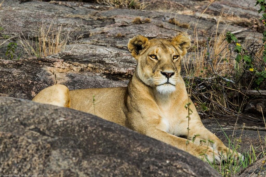 Leoaica cu pui_septembrie18_Serengeti_09