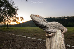 Eastern Bearded Dragon (Pogona barbata) | SEQ