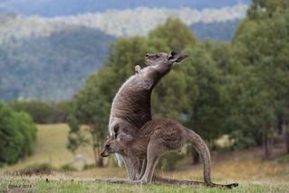 Eastern Grey Kangaroos | by i-lenticularis