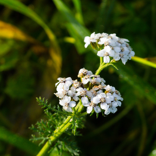 Yarrow flowering, December