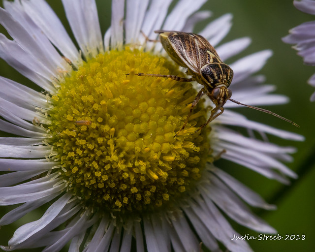 Tarnished Plant Bug 5-2