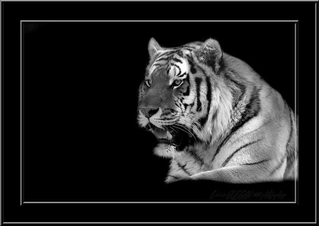 portrait d un tigre blanc portrait tiger