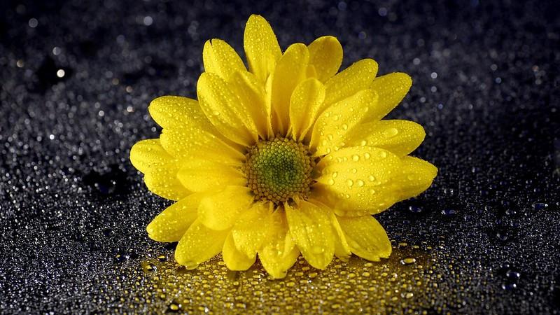 Обои цветок, капли, хризантема картинки на рабочий стол, раздел цветы - скачать