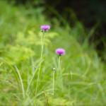 冬の野薊  Cirsium japonicum
