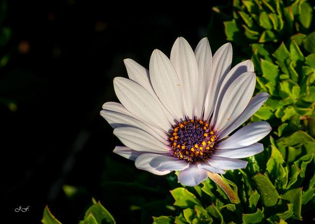 Dimorphotheca -  Nombre común Dimorfoteca,  Margarita del Cabo,