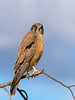 Brown Falcon (Falco berigora) by David Cook Wildlife Photography