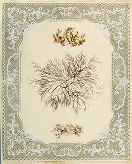 004-Album de algas marinas-1848- Brooklyn Museum Library | by ayacata7