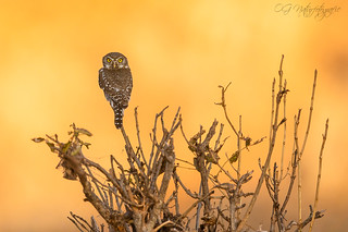 Pearl-spotted owlet | by Oliver Geiseler