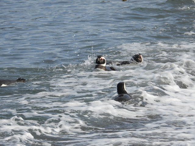 Swimming penguins, Beagle Channel, Tierra del Fuego, Patagonia, Argentina