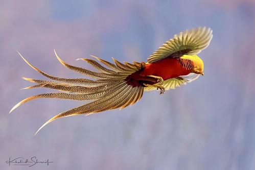 Golden pheasant (Chrysolophus pictus) ♂  红腹锦鸡 hóng fù jǐn jī