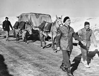 Quartermaster Sergeant F.C. Nelson, Three Rivers Regiment, and an Italian muleteer lead a pack mule team along a snow-covered mountain road, Italy / Le sergent quartier-maître F.C. Nelson, du Régiment de Trois-Rivières, et un muletier italien menant