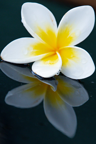 Yellow and White Frangipani and Reflection | by Merrillie