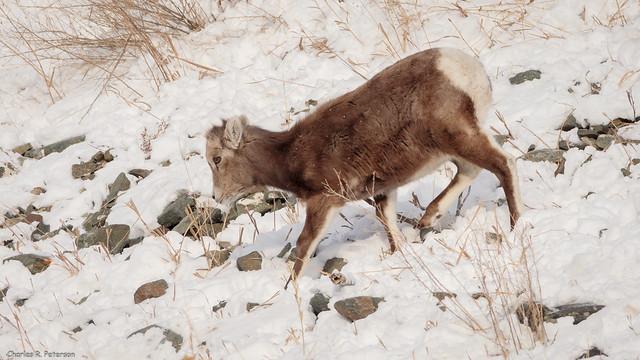 Juvenile Bighorn Sheep - Montana