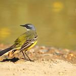 Spanish western yellow wagtail