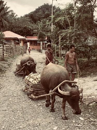 carabao water buffalo waterbufallo philippines philippine life animals