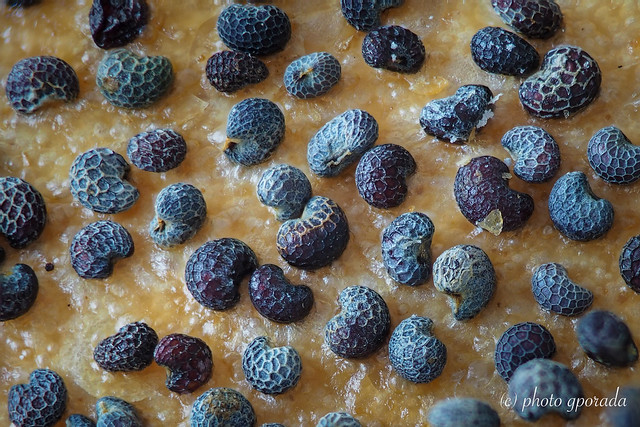 Focus Stack - Structures on Poppy Seeds ...