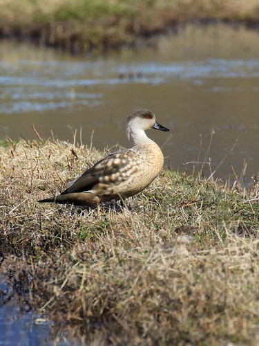 Crested Duck / Lophonetta specularioides | by Denis Tetreault