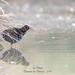 Râle d'eau ( Rallus aquaticus )-13