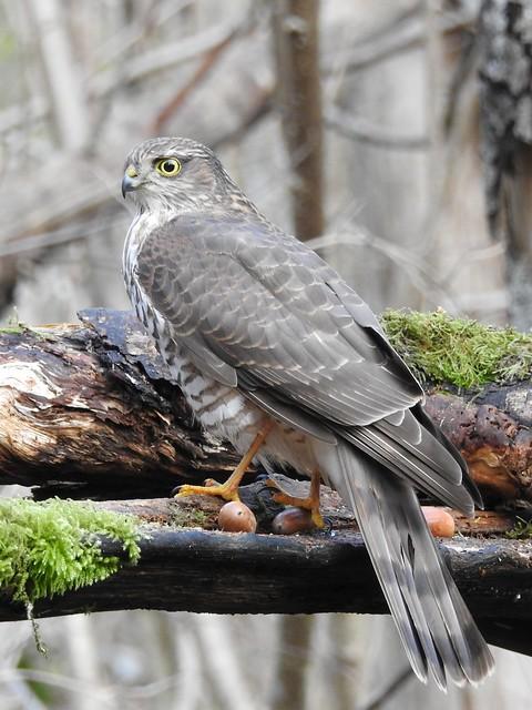 Eurasian Sparrowhawk ♀ (Accipiter nisus)