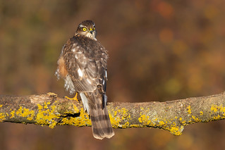 Sparrowhawk (Accipiter nisus) | by Photography by Matt Latham