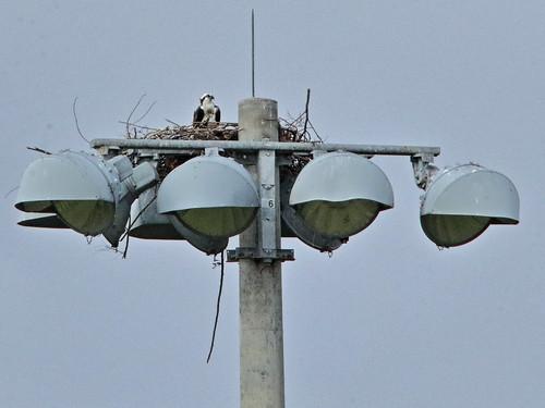 Osprey nest over soccer field 20190125