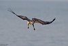 White-bellied Sea-Eagle, Haliaeetus leucogaster by Kevin B Agar