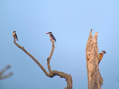 Black-thighed Falconet, Black-capped Kingfisher, and Greater Flameback Woodpecker