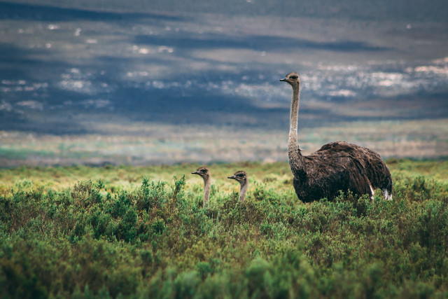 Ostriches in Agulhas National Park