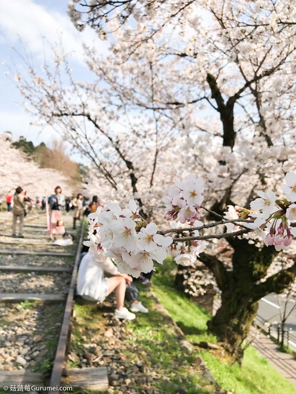 打工度假-京都生活-賞花、野餐-054